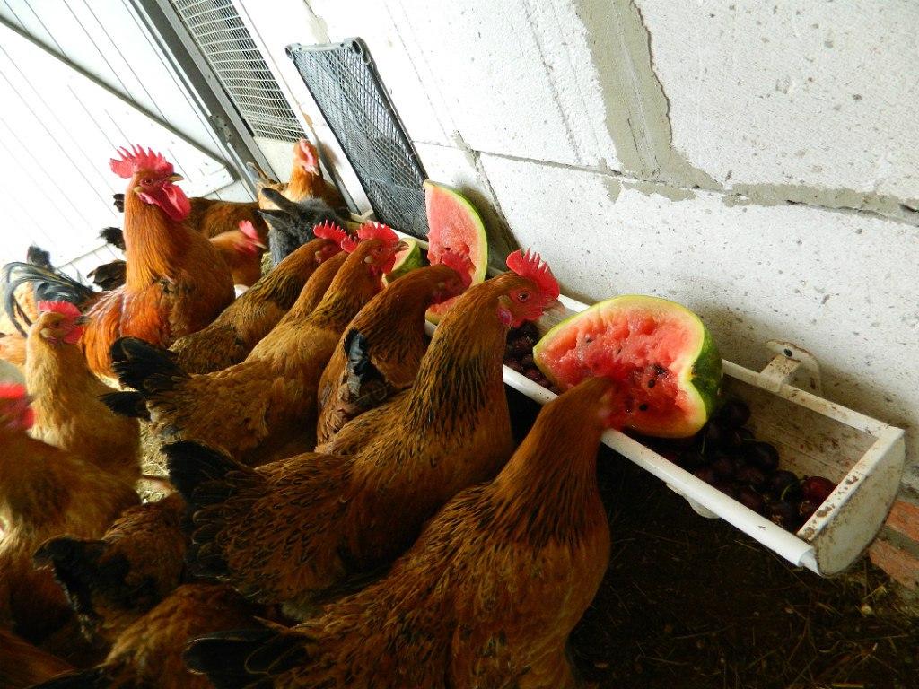 Куры на яйцо в домашних условиях 280