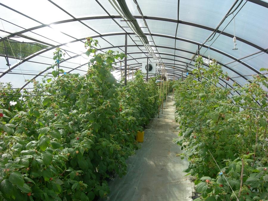 Выращивание киви в теплице круглый год 3