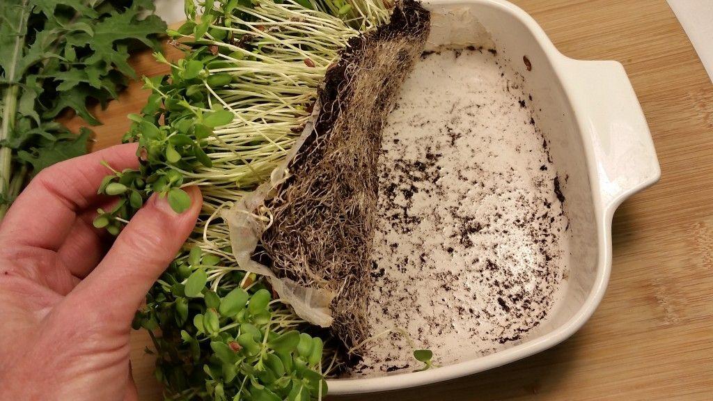 Выращиваем микрозелень без грунта