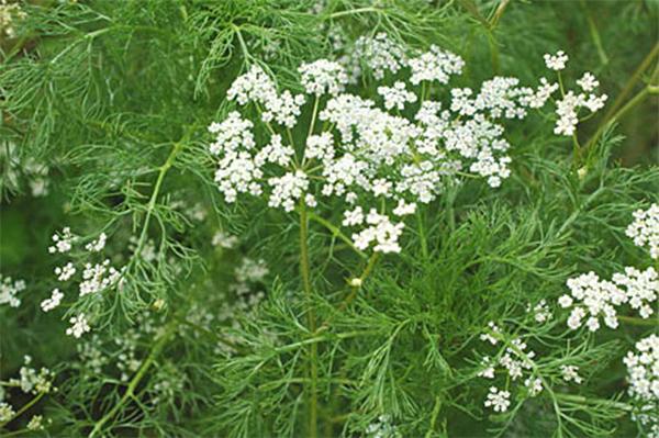 Тмин: полезные свойства и выращивание