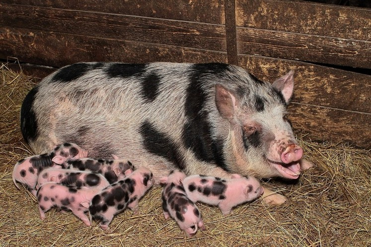 фото свиньи с сережками на шее