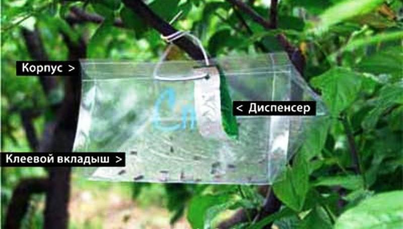 Феромонная ловушка на плодовых деревьях.jpg