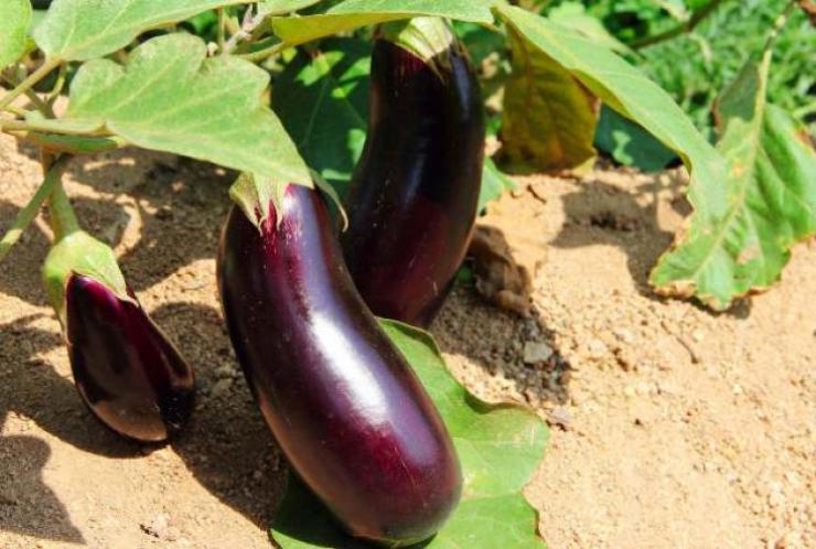 Выращивание баклажанов в сибири 10