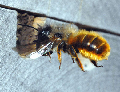 red-masonay-bee-osmia-rufa-flying-with-mud.jpg