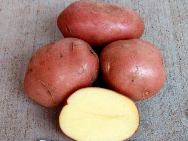 Картофель Беллароза.jpg